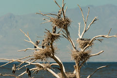 Heron Nests. Dead Tree With Numerous Active Great Blue Heron Nests Stock Image