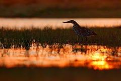 Heron and orange yellow sunset. Evening sun, Rufescent Tiger-Heron, Tigrisoma lineatum, motteled bird with evening back light, in. The nature habitat, Pantanal Stock Photo