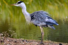 A heron on the Ornamental Pond, Southampton Common Stock Images