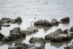 Heron in oyster farm Royalty Free Stock Image
