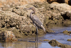 Heron by the Pacific Ocean coast Royalty Free Stock Photo