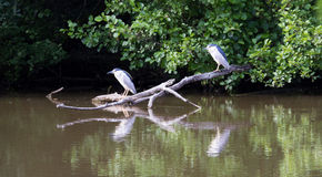 The heron. Pair of black crowned night Heron royalty free stock photos