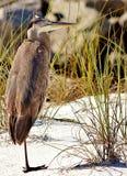 Heron Panama City Beach Florida Shell Island one legged stock photography
