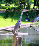 Heron in the Park Royalty Free Stock Photo