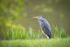 Heron patiently waiting Stock Photos