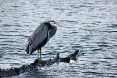 Heron Perched on Log Royalty Free Stock Image