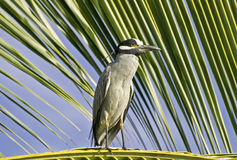 Heron perched on a palm leaf Stock Photography