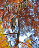 Heron perched on the tree. Heron mimicry in foliage of giant tree in autumn season Royalty Free Stock Photo