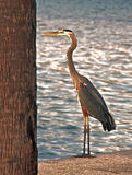 Heron. A photograph of a brown heron standing beside a tree at the edge of the water Royalty Free Stock Image
