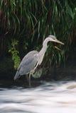 - heron połowów Obraz Royalty Free