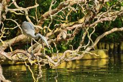 Heron poised to strike Stock Photo