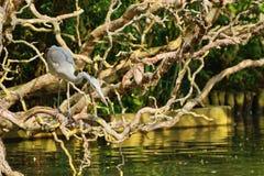 Heron poised to strike Stock Photo