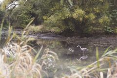 Heron in a pond with reflection Stock Photography