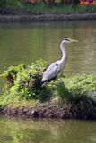 Heron by pool at Wisley Royalty Free Stock Images