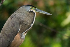 Heron portrait Royalty Free Stock Images