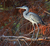 Heron portrait Royalty Free Stock Image