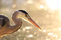 Heron Portrait Royalty Free Stock Photography