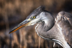 Heron portrait in a profile. Royalty Free Stock Images
