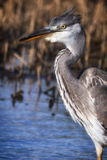 Heron portrait in a profile. Royalty Free Stock Image