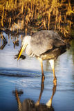 Heron portrait in a profile. Stock Photos