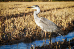 Heron portrait in a profile. Stock Images