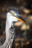 Heron portrait in a profile. Stock Image
