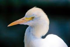 Heron portrait Royalty Free Stock Image