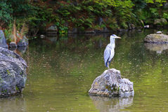 A heron posing on a stone above the pond during spring. Season Stock Image