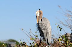 Heron preening eyes half closed Stock Image