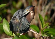- heron preening zielona Obraz Royalty Free