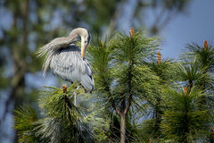 Heron preens itself in a tree. Royalty Free Stock Photography