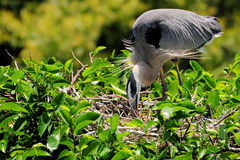Heron Preparing Its Nest Royalty Free Stock Photo