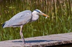 A Heron with prey. A grey Heron with prey Royalty Free Stock Photo