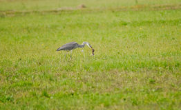 Heron with prey Royalty Free Stock Photo