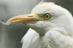 Heron Profile. Great White Heron with Feather on Beak stock photography
