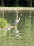 Heron raised on its legs. Pollution Stock Images