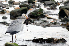 Heron and rat Stock Images