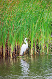 Heron and Reeds Stock Photography