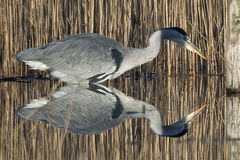 Heron Reflecting royalty free stock image