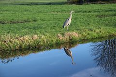 Heron reflecting on the water surface at a meadow in Nieuwerkerk aan den IJssel in the Netherlands. Heron reflecting on the water surface at a meadow in stock images