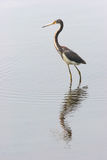Heron Reflection. Tricolored Heron on a pond with ripples and reflections Stock Images
