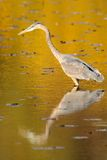 Heron reflection in golden water Stock Image