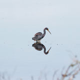 Heron reflection Royalty Free Stock Photo