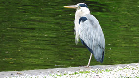 Heron in Regent`s Park. Adult heron by the water in Regent`s Park, London, England Stock Photos