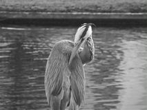 Heron at Regent's Park. London Royalty Free Stock Photo