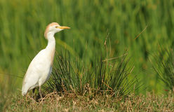 Heron among rice paddies Royalty Free Stock Images