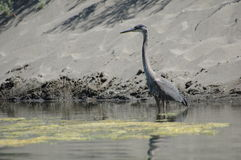 Heron on the river Royalty Free Stock Images