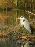 Grey Heron waits patiently at the rivers edge. Stock Photo