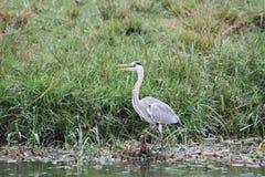 Heron on the riverside Stock Image