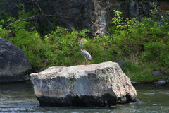 Heron on a Rock Royalty Free Stock Photos